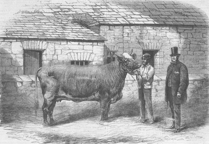 Associate Product LEEDS. Capt Gunter's Duchess, prizewinner, farm show, antique print, 1861