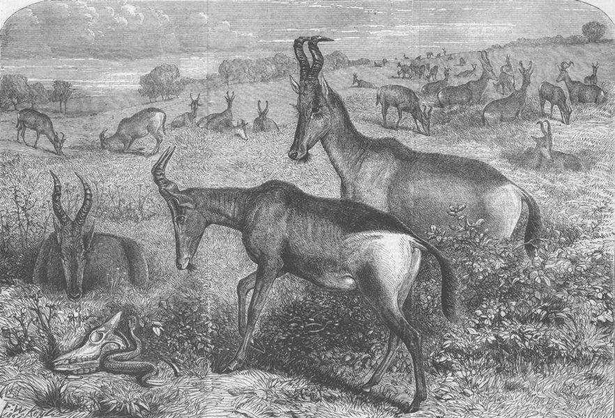 Associate Product ANIMALS. Hartebeeste Antelopes, antique print, 1861