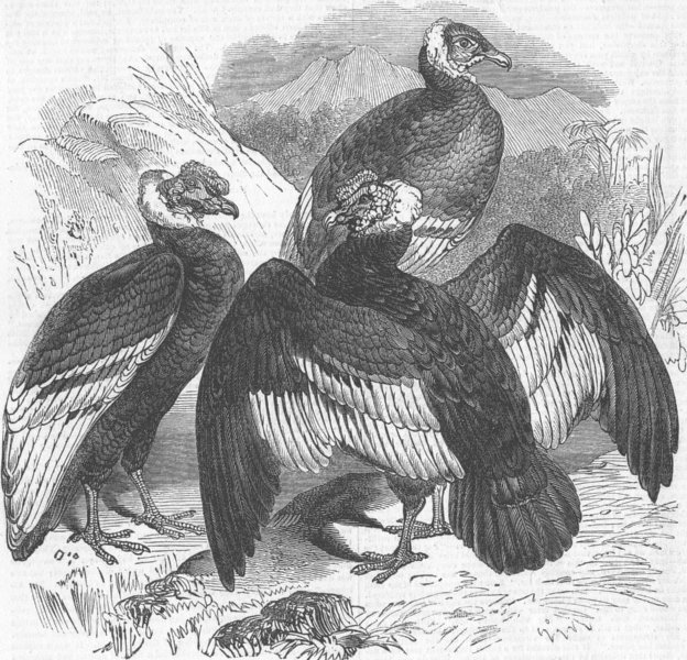 Associate Product LONDON. The Oval. Condors, zoo, antique print, 1844
