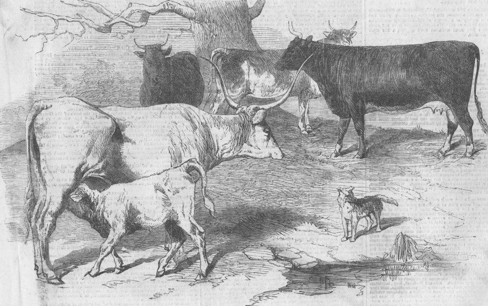 COWS. Hungarian white; Kerry; Bretonne; Ayrshire, antique print, 1856