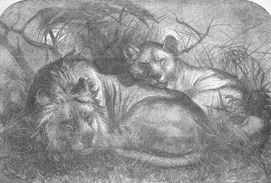Associate Product ANIMALS. Babylonian lions, antique print, 1856