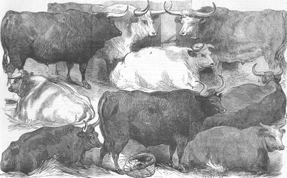 Associate Product COWS. Hereford ox & cow; white shorthorn; Devon, antique print, 1856