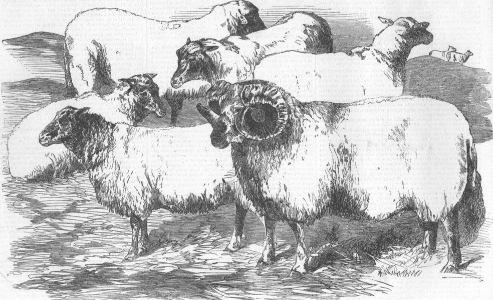 Associate Product CUMBS. Farm show, Carlisle. Shearling Rams & Ewes, antique print, 1855
