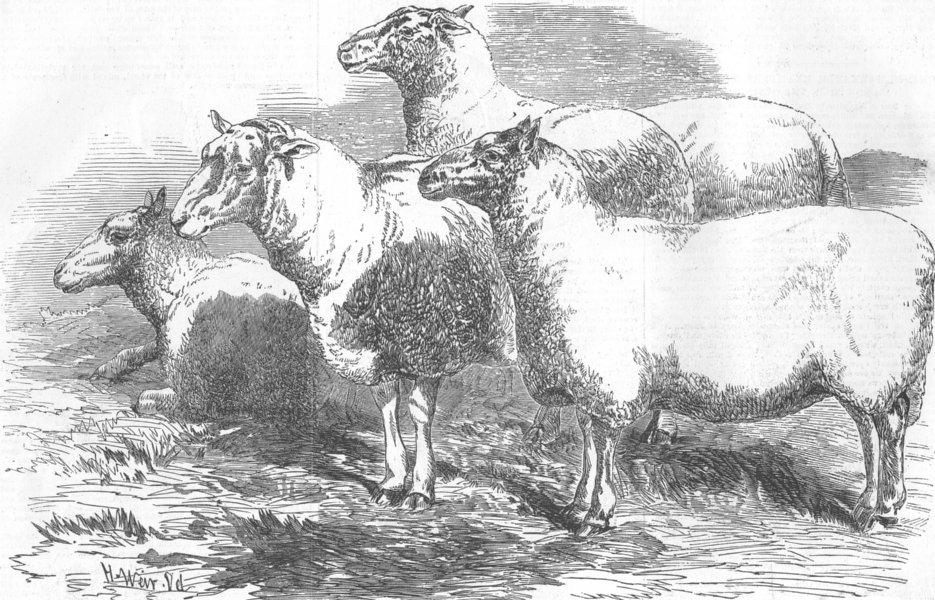 Associate Product CUMBS. Farm mtg, Carlisle. Shearling Ram & Ewes, antique print, 1855