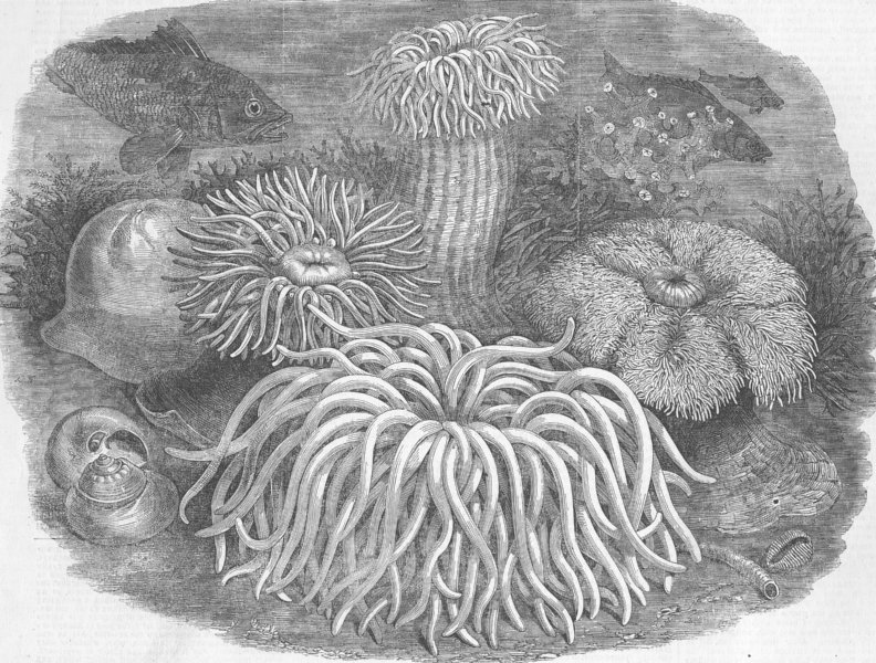 Associate Product LONDON. Zoo. Sea anemones, Gdns of, Regent's Park, antique print, 1854