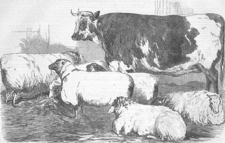 Associate Product COWS. Southdowns; Roan Ox; Leicester, antique print, 1854