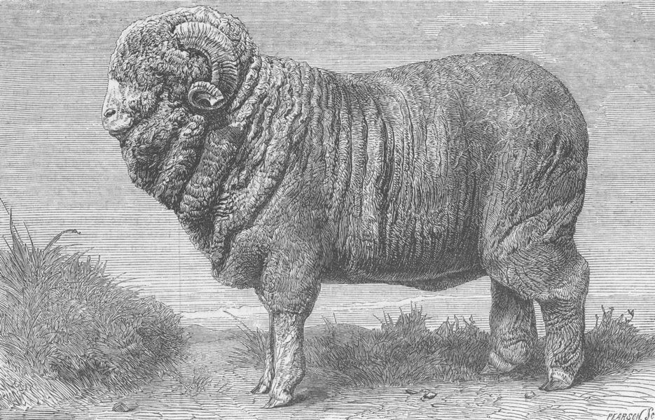 Associate Product GERMANY. Merino Ram, exhibited, Dresden, antique print, 1865