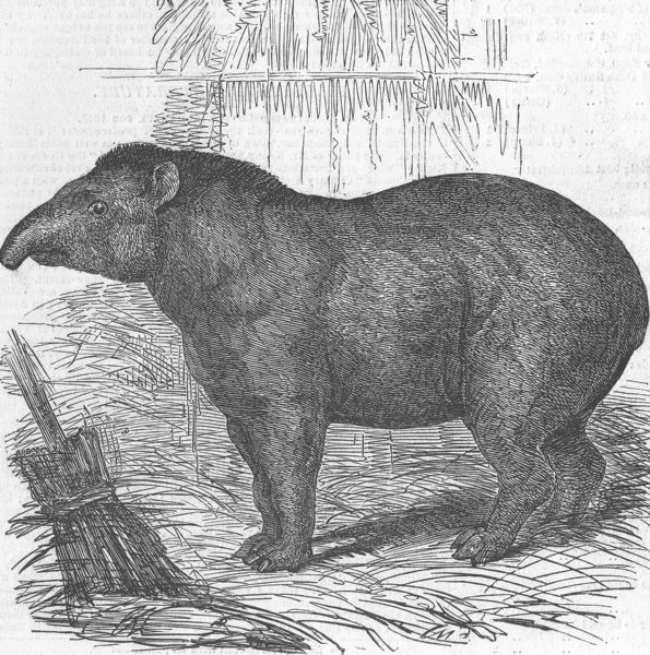 Associate Product LONDON. Zoo. Tapir presented by Queen to, antique print, 1847