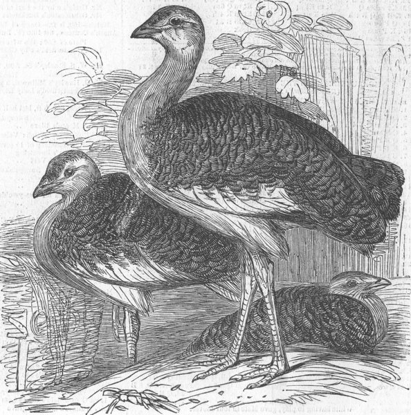 Associate Product LONDON. Zoo. Gt bustards, Gdns of, antique print, 1847