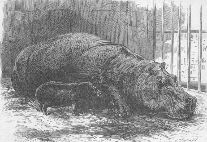 Associate Product ANIMALS. Young Hippo & dam, Zoo, antique print, 1872