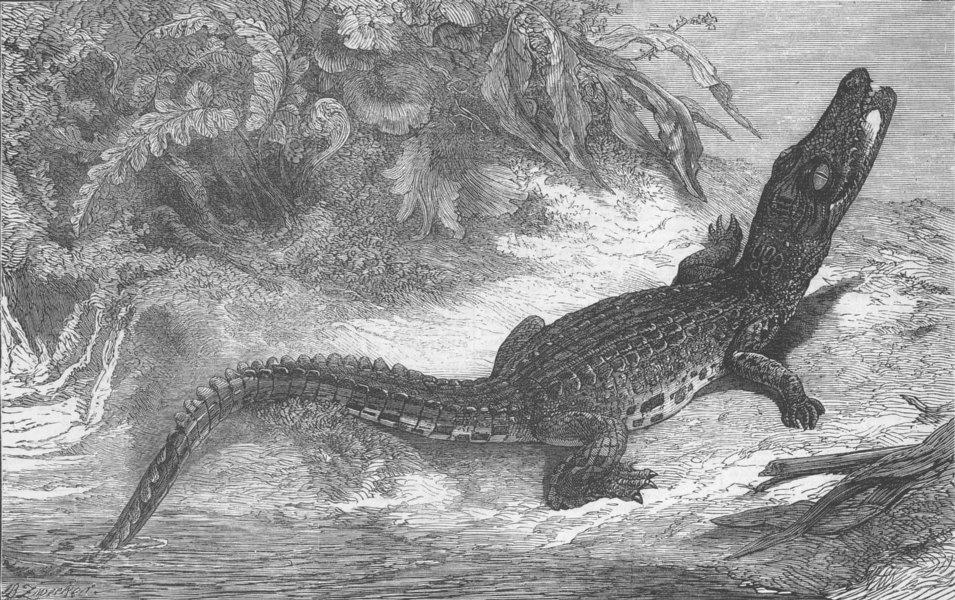 Associate Product INDONESIA. Sumatra Alligator for Brighton Aquarium, antique print, 1873