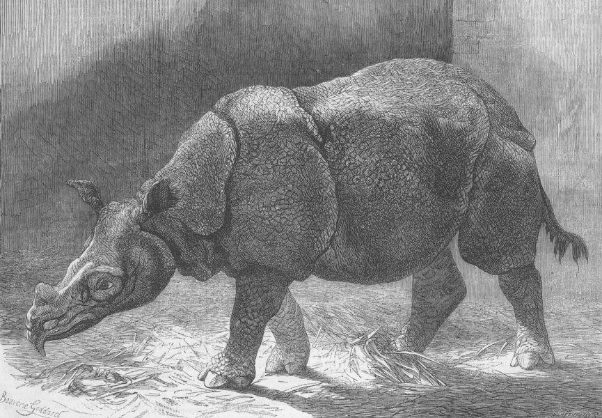 Associate Product LONDON. Zoo. new rhinoceros, Gdns of, antique print, 1874