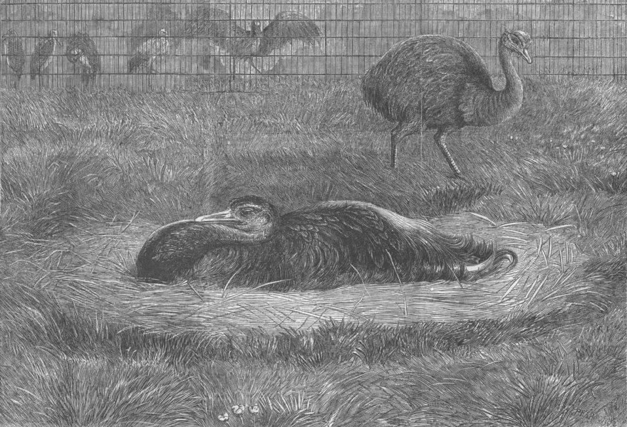 Associate Product BIRDS. London Zoo. American ostrich nest, antique print, 1863