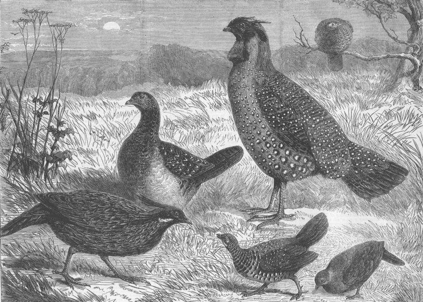 Associate Product BIRDS. Indian Pheasants, London Zoo, antique print, 1863