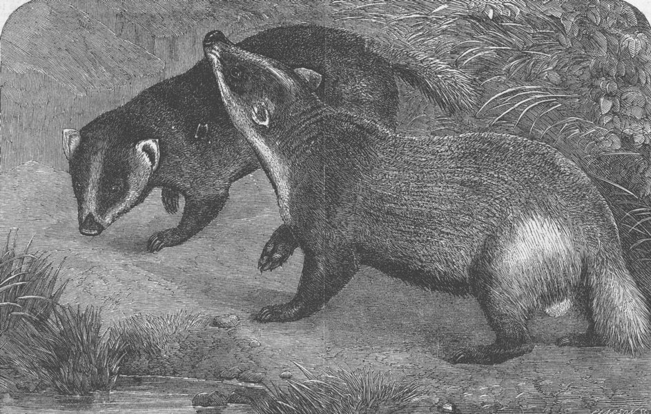 Associate Product ANIMALS. London Zoo. Japanese badgers, antique print, 1865