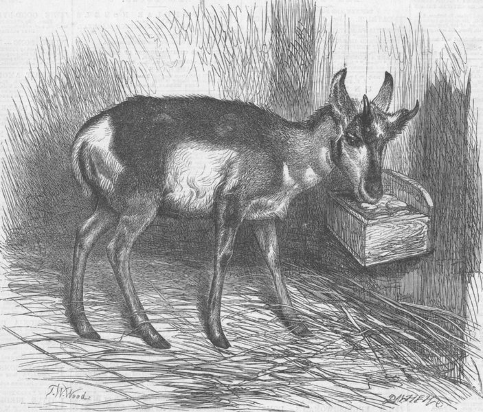 Associate Product LONDON. Zoo. prong-horned antelope, antique print, 1865