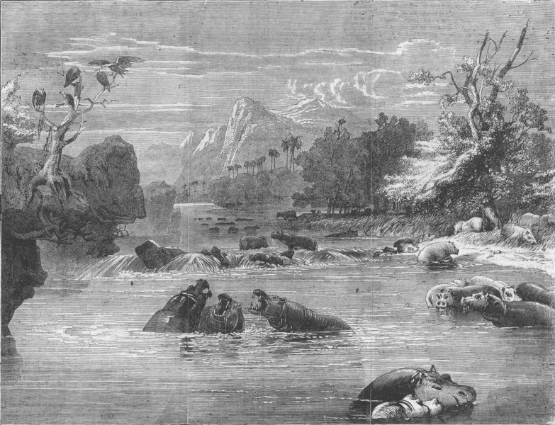 Associate Product SOUTH AFRICA. River Limpopo; A herd of Hippos, antique print, 1856