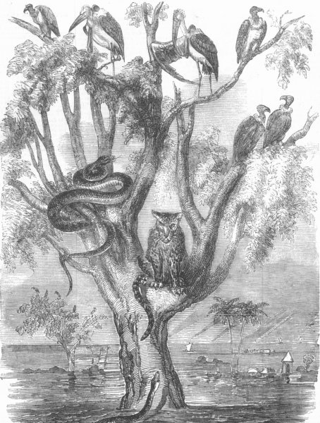 Associate Product INDIA. Inundation, India. Tree of Refuge, antique print, 1856