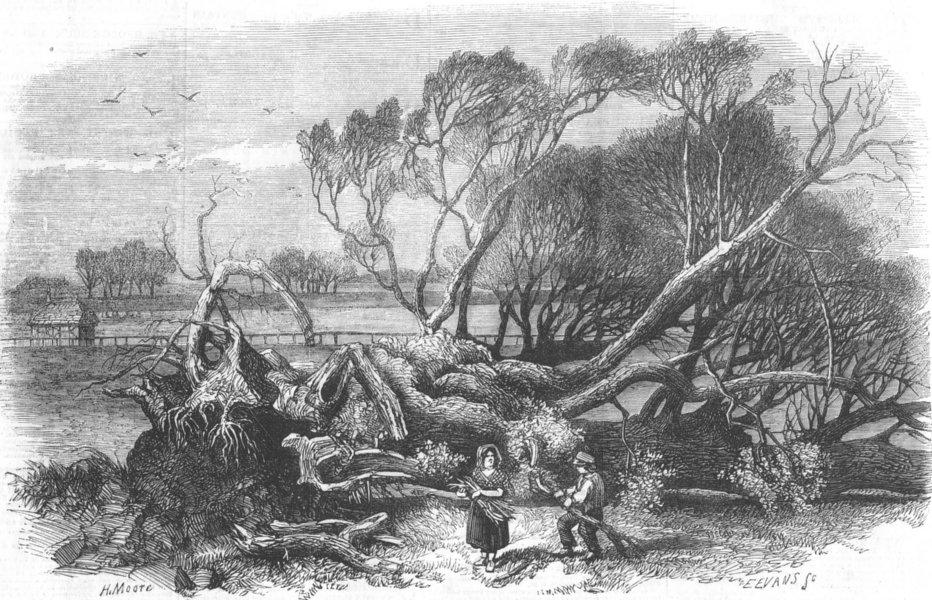 Associate Product LONDON. Elm-Tree Blown down, Hyde Park, 7th 1856, antique print, 1856