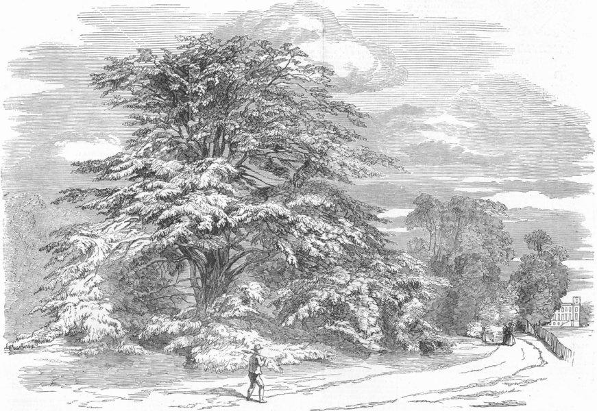 Associate Product LONDON. Syon-the great cedar, antique print, 1852
