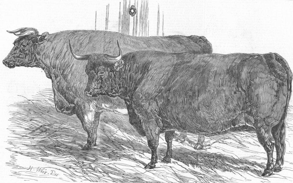 Associate Product COWS. North Devon & short-horned oxen, antique print, 1849
