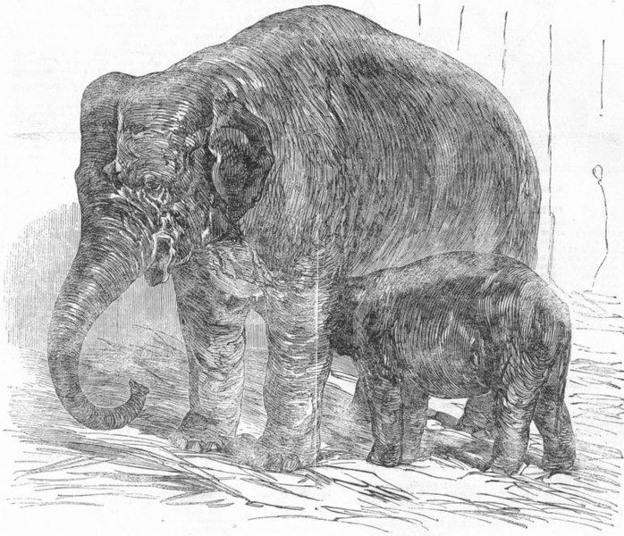Associate Product ELEPHANTS. London Zoo. Elephant Calf, Regent's Park, antique print, 1851
