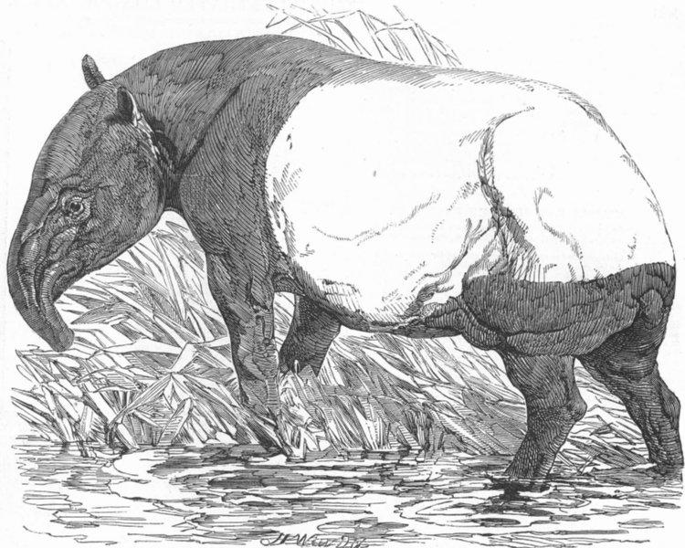 Associate Product ANIMALS. London Zoo. Malayan Tapir, Regent's Park, antique print, 1851