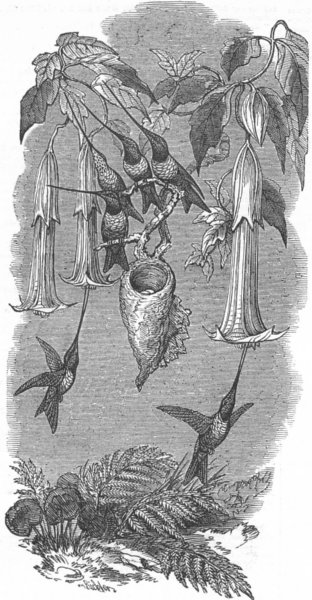 Associate Product BIRDS. Humming-Birds, antique print, 1851