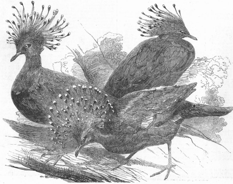 Associate Product BIRDS. Goura Victoria Pigeons, antique print, 1853