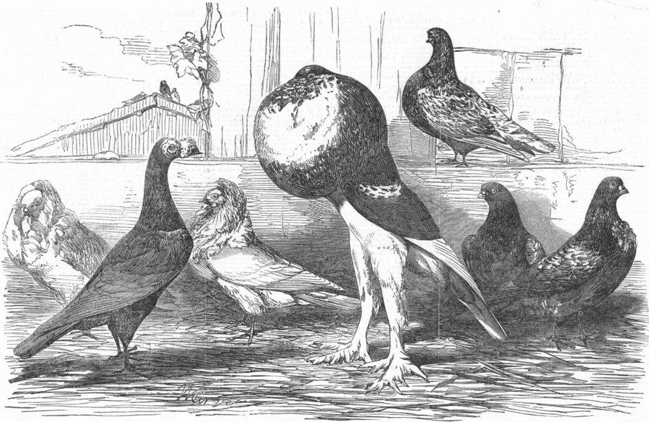 Associate Product PIGEONS. Carrier; Jacobin; Pouter; Almond Tumbler, antique print, 1851