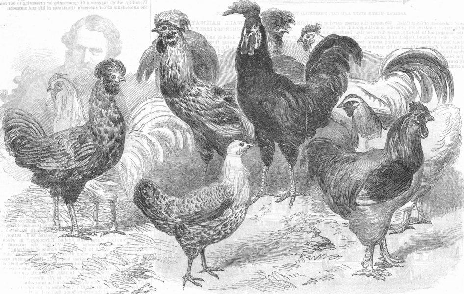 Associate Product CHICKEN. Dorking; Polands; Hamburg; Spanish; Vietnam, antique print, 1853