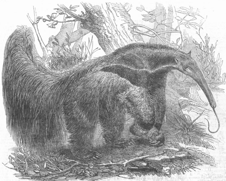 Associate Product ANIMALS. Great ant-eater, antique print, 1853
