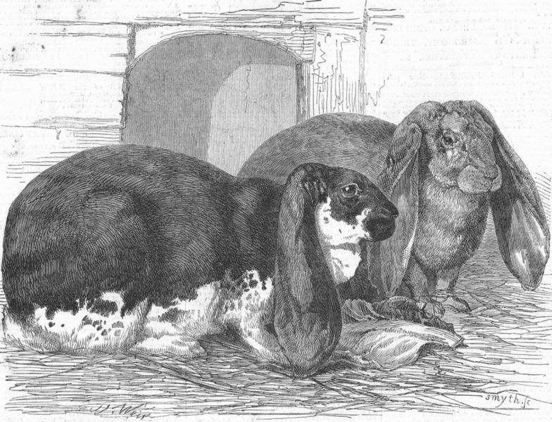 Associate Product KENT. Prize rabbits, Rochester & Chatham show, antique print, 1850