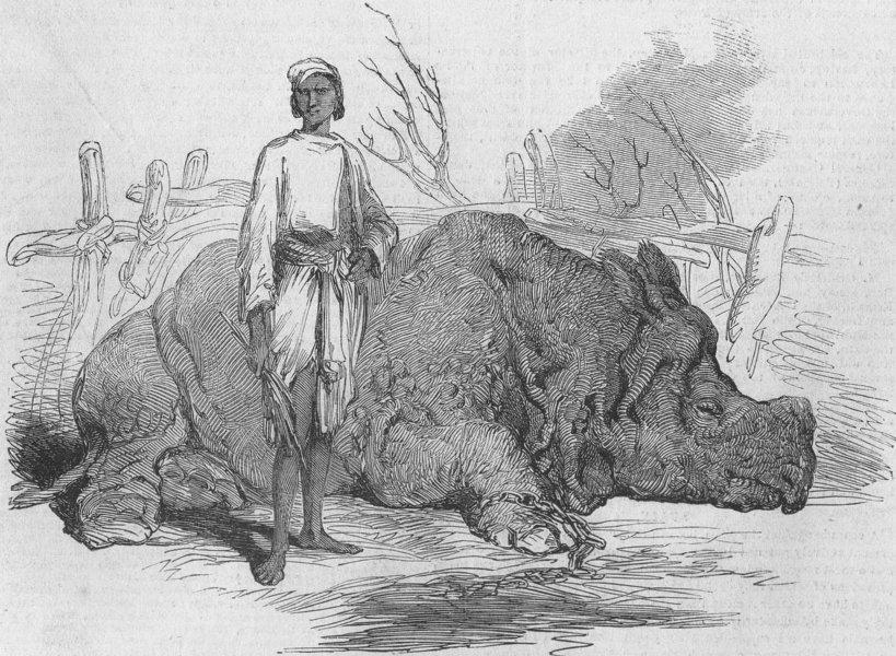 Associate Product INDIA. Rhinoceros, Rundheer Singh's camp, antique print, 1852