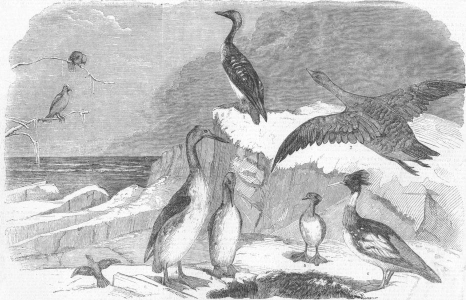 Associate Product BIRDS. Diver; Goose; Chatterer; grebe; merganser, antique print, 1850