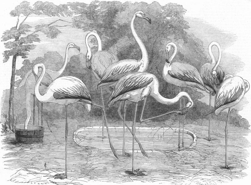 Associate Product BIRDS. London Zoo. Flamingoes, Gdns of, Regent's Park, antique print, 1853