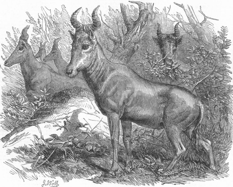 Associate Product ANTELOPES. London Zoo. Bubale Antelope, Regent's Park, antique print, 1853