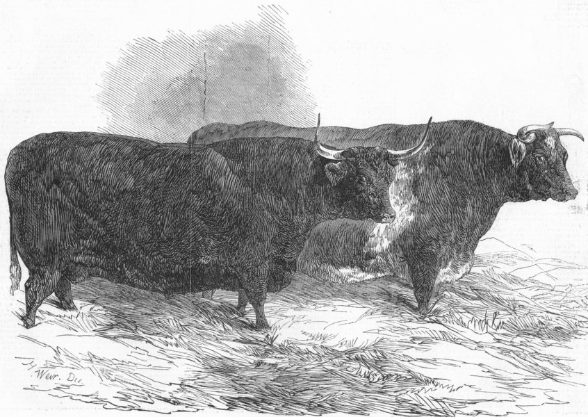 Associate Product COWS. Smithfield. North Devon & short-horned steer, antique print, 1848