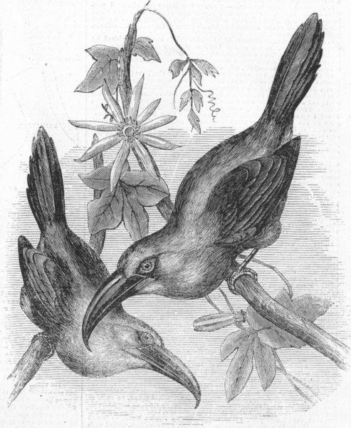 Associate Product BIRDS. Groove-billed Aracari, Aulacoramphus Sulcatus, antique print, 1855