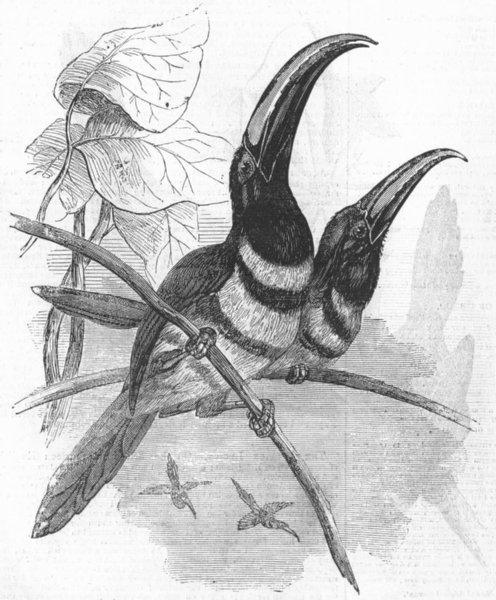 Associate Product BIRD. Many-banded Aracari, Pteroglossus Pluricinctus, antique print, 1855