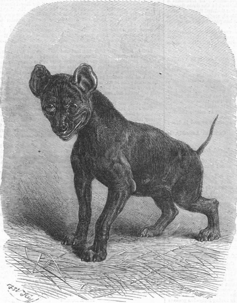 Associate Product ANIMALS. Young Hyaena, antique print, 1868