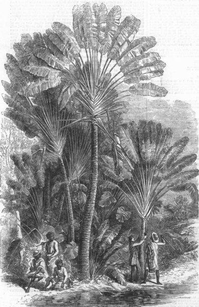Associate Product PORTRAITS. Traveller's-tree(Urania Speciosa), antique print, 1858