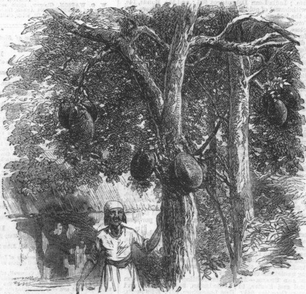 Associate Product BREAD FRUIT. Artocarpus integrifolia(Jack-tree), antique print, 1858