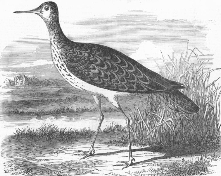 Associate Product BIRDS. Sandpiper(Totanus Bartramius)shot, Cambs, antique print, 1855