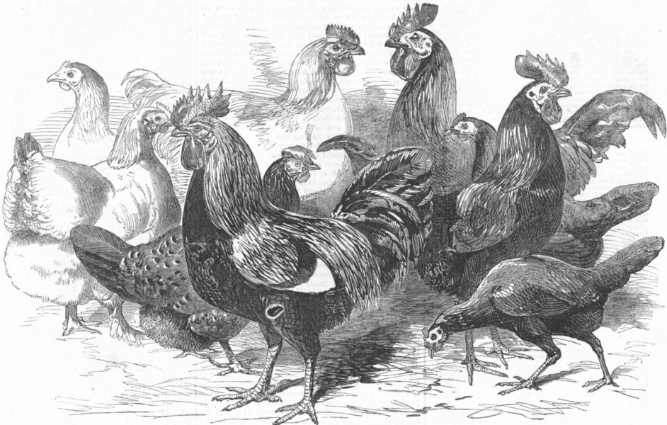 Associate Product CRYSTAL PALACE. Prize fowls from Poultry show, antique print, 1857