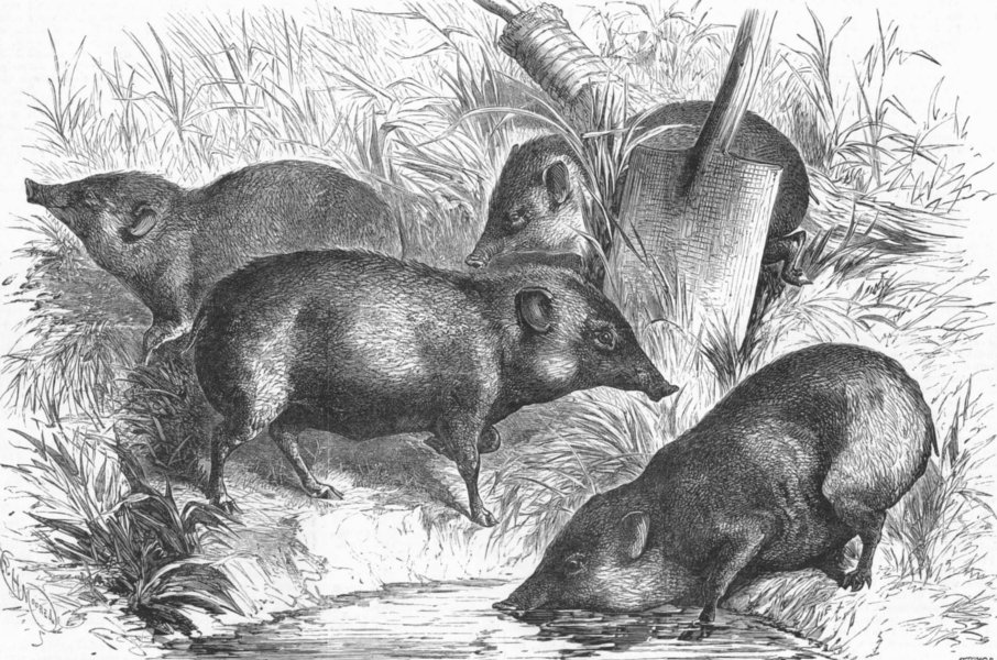 Associate Product INDIA. Pigmy Hogs from India, antique print, 1882