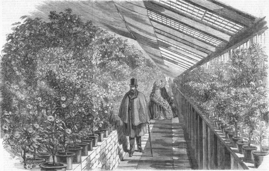 Associate Product LONDON. Show of Camellias, Vauxhall Nursery, antique print, 1860