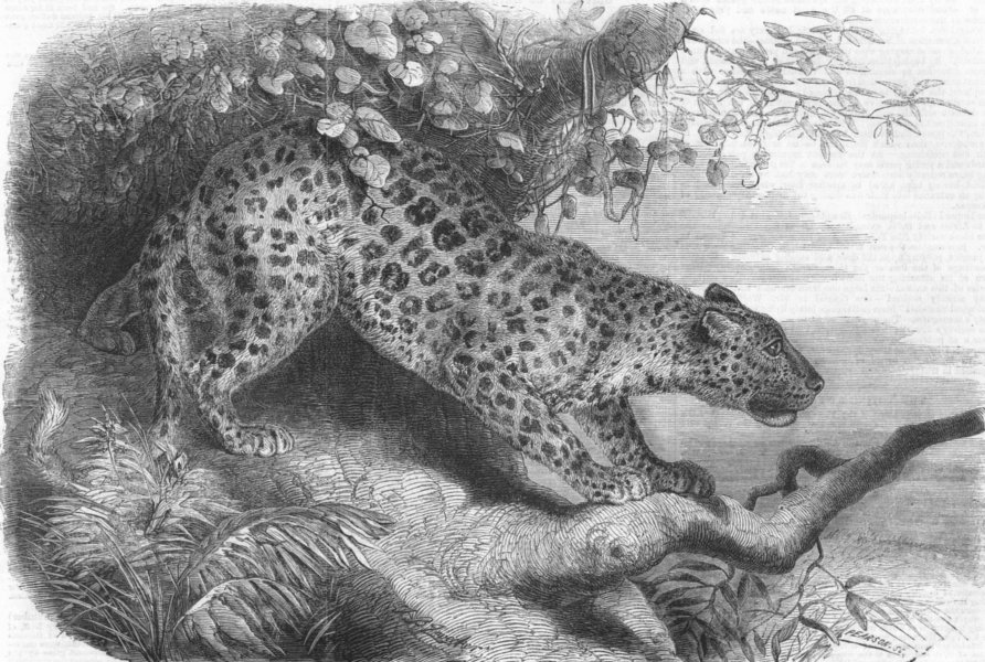 Associate Product LEOPARDS. African Leopard, antique print, 1860