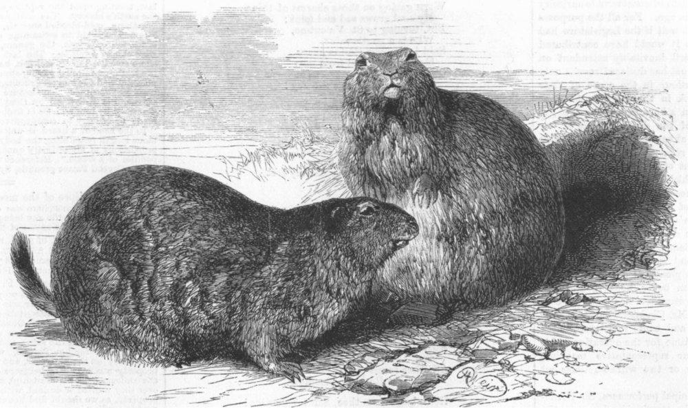 Associate Product ANIMALS. Prairie dogs, antique print, 1860