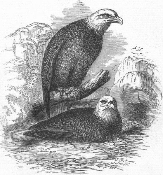 Associate Product BIRDS. White headed eagles, antique print, 1845